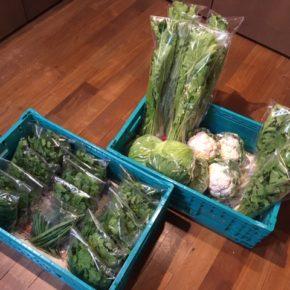 今帰仁村 片岡農園さんの無農薬野菜が入荷しました!本日はパクチー・春菊・ルッコラ・カリフラワー・かぶ葉・大根葉・キャベツ・インゲンが入荷しました!