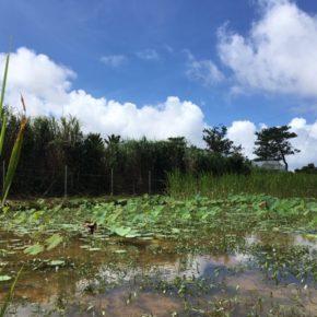 2016年6月。台湾の無農薬蓮根農家さんに譲って頂いた苗から無事に育った沖縄れんこん。昨年から圃場を宜野湾から名護に移し、うまくいけば8月頃から店頭に出せる予定です。ハルラボ商店の自然栽培の沖縄れんこん、どうぞお楽しみに!