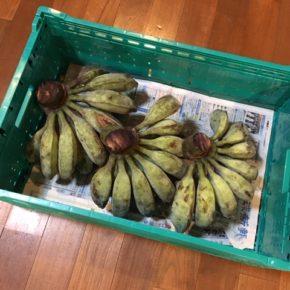 沖縄自然栽培薬草園さんの自然栽培のアイスクリームバナナが入荷しました! まだ青いので食べ頃まで少々お待ち下さい。