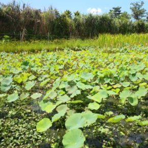 2016年6月。台湾の無農薬蓮根農家さんに譲って頂いた苗から無事に育った沖縄れんこん。昨年から圃場を宜野湾から名護に移し、従来であれば収穫期を迎えるのですが土壌の違いから成長が遅れているようです。台風10号が去ったら試し堀りをします。ハルラボ商店の沖縄れんこん、どうぞお楽しみに〜!