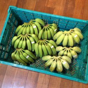 島バナナが久しぶりに入荷!北中城村 ソルファコミュニティさんの自然栽培のブラジル島バナナ・ニラ・ローゼル、うるま市 玉城勉さんの自然栽培の銀バナナ・新生姜・丸オクラが入荷しました。
