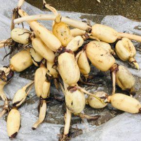やんばるにて栽培している無農薬栽培の沖縄れんこん。本日(11/2)より店頭販売を開始します!