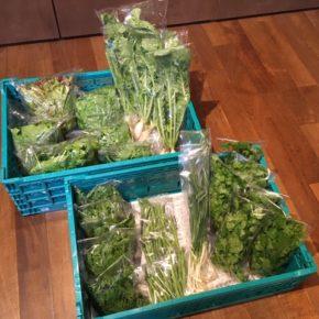 片岡農園さんの無農薬栽培のサラダ春菊・パクチー・リーフレタス・まびき大根・インゲンが入荷しました!