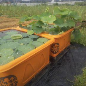 今年から始まった「沖縄れんこん」のコンテナ栽培「ハルラボレンコン」。北部から南部まで二十名のレンコンに造詣のある方々が森さんの監修のもと栽培に取組んでいます。 ※写真はうるま市マサヨさんの圃場に置かれたコンテナの近況です。