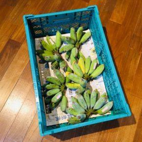 うるま市 玉城勉さんの自然栽培の銀バナナが入荷しました。