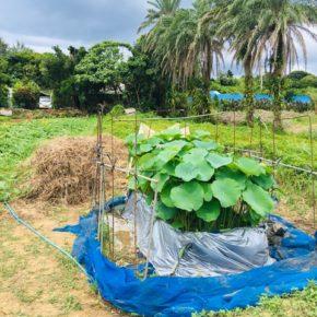 畑で出来る(?)無農薬レンコン栽培「ハルラボレンコン」。現在、沖縄本島北部から南部まで50個のコンテナで栽培中です。 写真は今帰仁村、片岡農園さんの一昨日のレンコン。人の背丈ぐらいの高さまで葉も成長し、早ければ10月頃の収穫予定です。是非、ご期待ください。