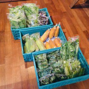 今帰仁村 片岡農園さんの無農薬栽培の小松菜・サラダナーベラー・うりずん豆・赤じそ・青じそ・ウンチェバー・モーウィ・丸オクラ・モロヘイヤが入荷しました!