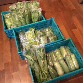 今帰仁村 片岡農園さんの無農薬栽培のリーフレタス・小松菜・サラダナーベラー・うりずん豆・オクラ・ウンチェバー・モロヘイヤが入荷しました!
